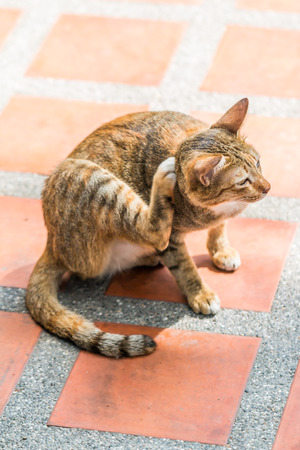 animal behavior: cat seeing the mouse and scratching and  itches fleas on the orange floor Stock Photo