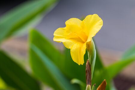 colic: Yellow Flower Indian Canna (Canna indica L.),Close of canna lilies on green background