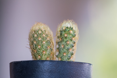 geen: Cactus in a pot black on geen bokeh background Stock Photo