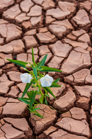 aridness: Pattern of cracked and dried soil With a growth white flower background