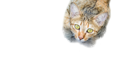 calico whiskers: A tabby cat staring at the camera Intensely on white background