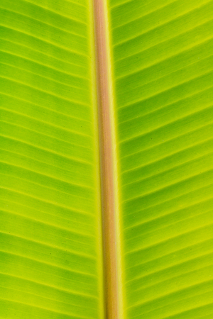 closeup of fresh banana leaf texture, green color background photo