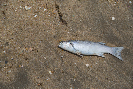 dead fish on the beach with sand background photo