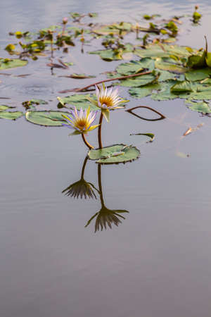 Two lotus flower with reflection background photo