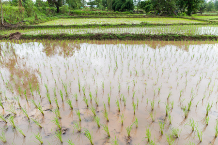 planters: Rice planters are unfinished, Thailand Stock Photo