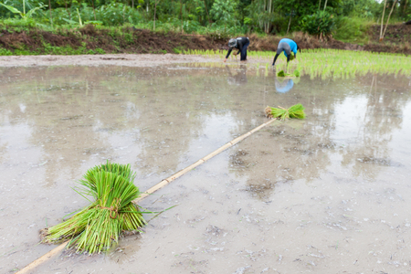 Young rice seedling preparation to plant in orderly rows, Thailand photo