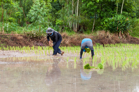 farmer planting on the paddy rice farmland, Thailand photo