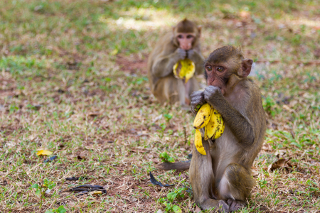 Baby monkey sits on grass and eats banana with friend behide photo