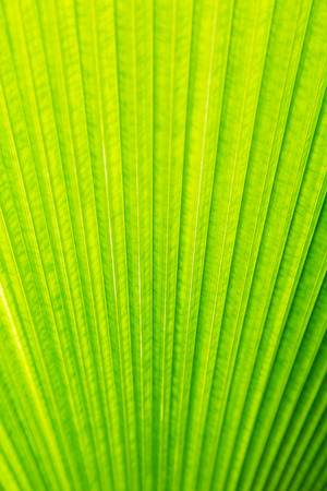 Green leaf of Palm tree texture background photo