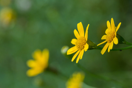yellow daisy flower on green background photo
