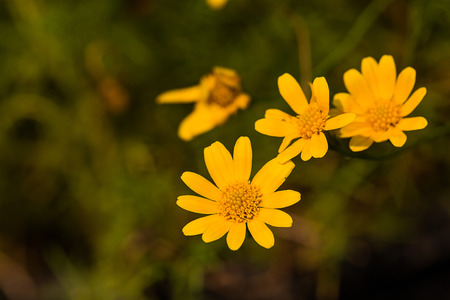 daisys: yellow daisy flower on green background
