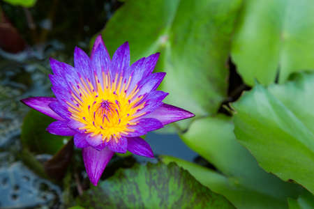 Purple lotus flower on a pond with yellow center and waterlilies around photo