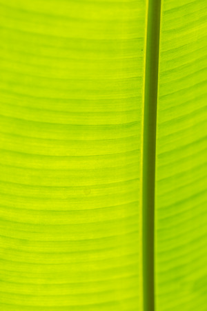 healthy growth: closeup of banana leaf texture, green and fresh background Stock Photo