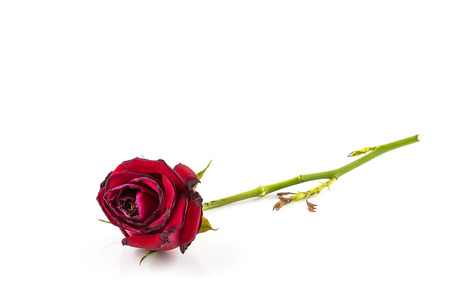 wilting: Dried rose flower isolated on white background