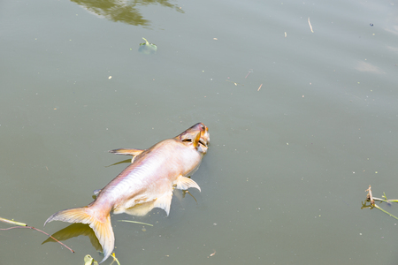 ecological problem: dead fish floated in the dark water river, water pollution peoblem