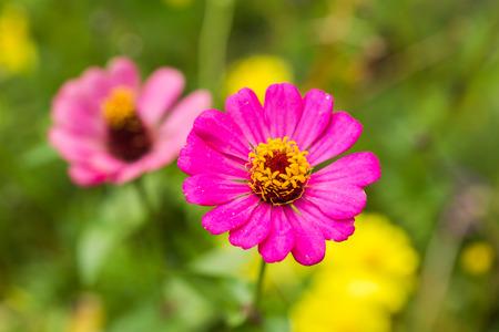cav: Pink Zinnia flower (Zinnia violacea Cav) with green background