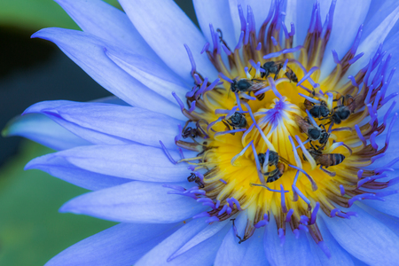 bee swarm: Lotus flower witht bee swarm nature background