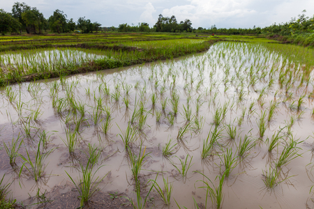 planters: Young Rice planters in Thailand ,Udonthani Stock Photo
