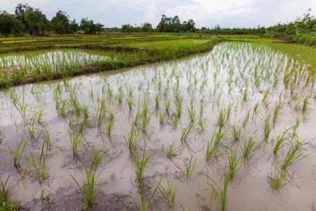 jardineras: Plantadores de arroz j�venes en Tailandia, Udon Thani
