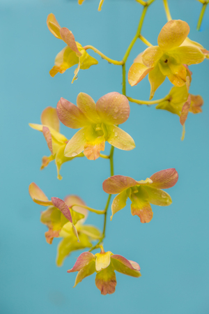 nobleness: Full bloom of yellow orchid flower with water drop on light blue background selective focus Stock Photo