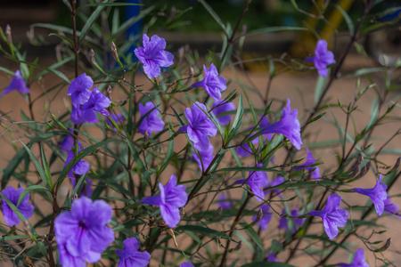 acanthaceae: Ruellia tuberosa violet flower nature background selective focus