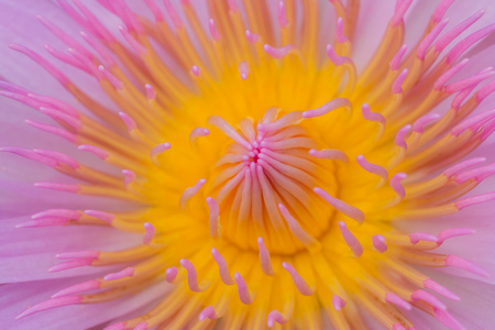 Close up of lotus pollen from pink lotus  with pink lobe background