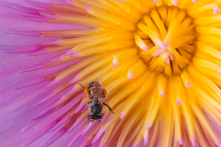 Close up pink lotus with bee on the pollen background Stock Photo
