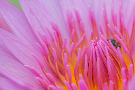 lobe: Close up of lotus pollen from pink lotus  with pink lobe background