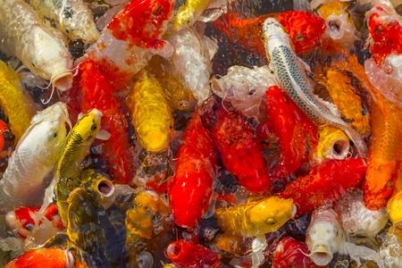 Koi Carps Fish Japanese swimming (Cyprinus carpio) beautiful color background