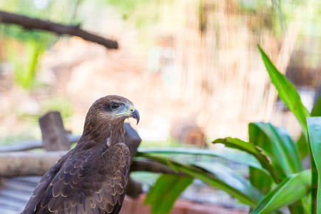 falco peregrinus: Falcon close up in the park with green background Stock Photo