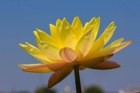 Blossom yellow lotus  flot on the river gardent Stock fotó