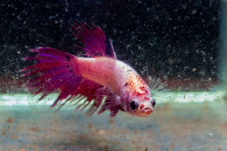 turbid: siamese fighting fish injuries head and tail after fighting in turbid water