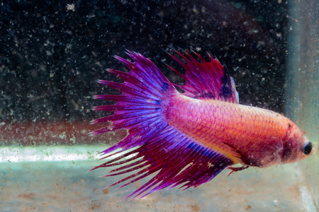 turbid: Tail of siamese fighting fish injuries head and tail after fighting in turbid water Stock Photo
