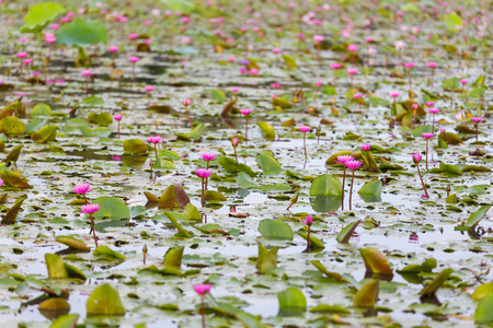 monet: Pink lotus flower blooming ,Water Lilies flower focus on the middle in the pond