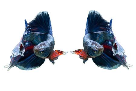 dragon swim: siamese fighting fish isolated on black background Stock Photo