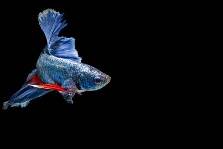 fire fin fighting: siamese fighting fish isolated on black background Stock Photo