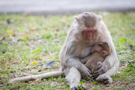 Baby-Affe saugt die Milch der es der Mutter auf dem Rasen