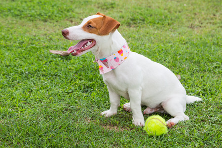 russel: jack russel dog sitting on green grass background