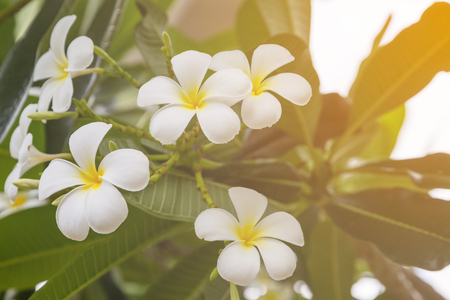 subtropical plants: Plumeria flowers on the tree background