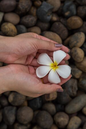 river rock: hand hold Plumeria flowers on the river rock background