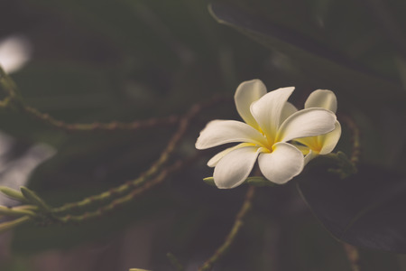 plumeria on a white background: White Plumeria flower on the tree background