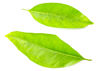 Groen blad dat op witte achtergrond wordt geïsoleerd Stockfoto - 61649773