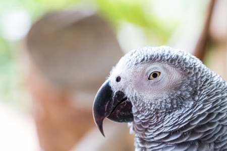 studio zoo: Close up of African Gray Parrot with brown background