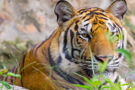 Face of Head and face Royal Bengal tiger Nature