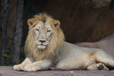 resting: Lion resting and  watching Stock Photo