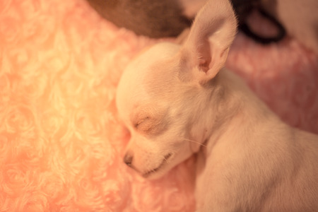 grey eyed: Baby chihuahua Sleeping on the pink bed
