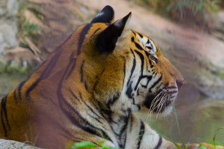 tigress: Side view of Head and face Royal Bengal tiger,Nature