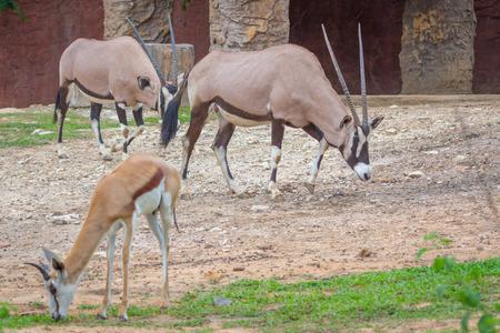 Gemsbok antelope (Oryx gazella) deer, South Africa Stock Photo