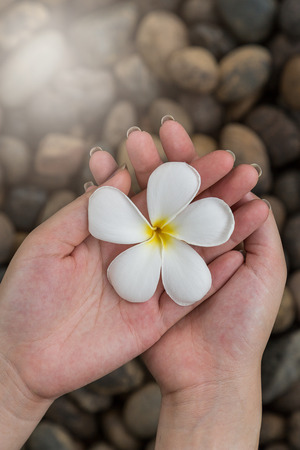 river rock: Woman hand hold Plumeria flowers on the river rock background