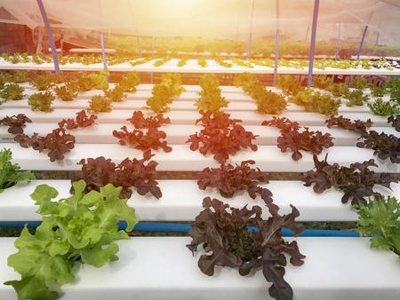 Hydroponics Organic vegetables Farms in Thailand